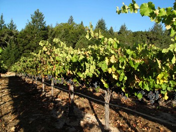 ... by a skilled vineyard worker a dozen or more times in the course of the season for pruning shoot thinning tying crop thinning canopy management ... & Snowden Vineyards - Vineyard Test Page